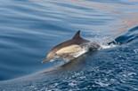 Long Beaked Dolphin