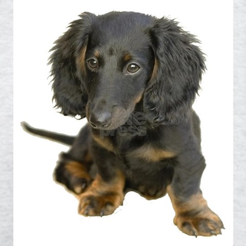 long haired dachshund black and brown. dapple long haired dachshund