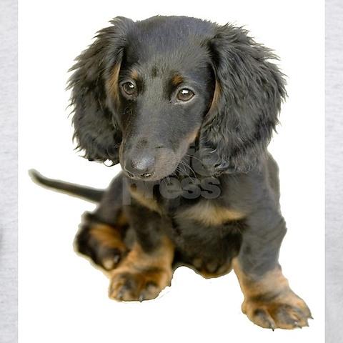 black long haired dachshund puppy. dapple long haired dachshund